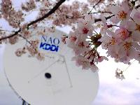 2015年4月 桜満開 [1]