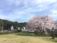 2016年4月 満開の桜 [2]