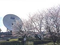 2016年4月 満開の桜 [3]