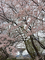 2016年4月 満開の桜 [5]