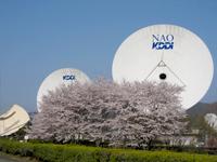 34Mアンテナと電波望遠鏡 (NAO) と桜