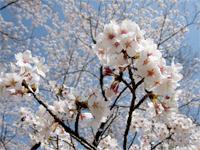 いこいの広場の桜